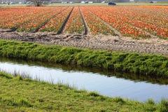 Rangées diagonales des tulipes colorées en rouge et rose dans un paysage avec un gisement de fleur à l'arrière-plan près d'Amster Photographie stock libre de droits