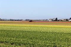 Rangées diagonales des tulipes colorées en rouge et rose dans un paysage avec un gisement de fleur à l'arrière-plan près d'Amster Photos libres de droits