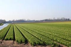Rangées diagonales des tulipes colorées en rouge et rose dans un paysage avec un gisement de fleur à l'arrière-plan près d'Amster Images libres de droits