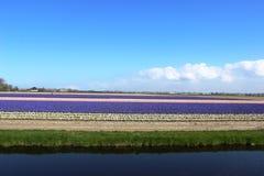 Rangées diagonales des tulipes colorées en rouge et rose dans un paysage avec un gisement de fleur à l'arrière-plan près d'Amster Image libre de droits