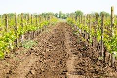 Rangées du jeune élevage de vignes Vignes étant plantées V photo libre de droits