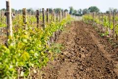 Rangées du jeune élevage de vignes Vignes étant plantées V Images libres de droits