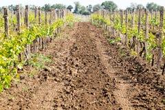 Rangées du jeune élevage de vignes Vignes étant plantées V Image stock
