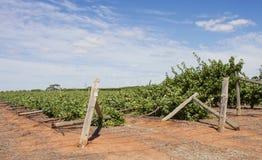 Rangées effondrées des vignes de Chardonnay endommagées par vent Image libre de droits