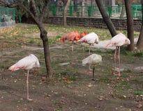 Rangées minces des flamants au zoo images libres de droits