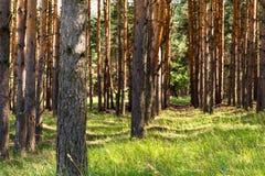 Rangées minces des pins Herbe verte juteuse Photographie stock libre de droits