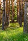 Rangées minces des pins Herbe verte juteuse Photos libres de droits