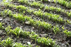 Rangées organiques de jeune plante de persil Images stock