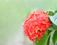 Rangan flower Royalty Free Stock Photo