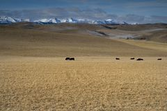 On the range 1. Cattle on a ranch Royalty Free Stock Image