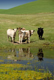 Range Cattle at the Pool Royalty Free Stock Image