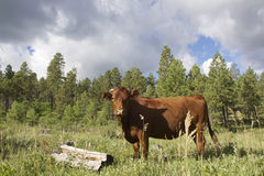 Range Cow in Mountains Royalty Free Stock Image