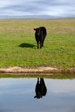 Range Cow Reflection Royalty Free Stock Photos