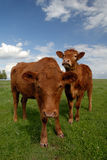 Range Cows. Pair of Range Cows Under American Western Skys Royalty Free Stock Photos