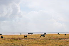 Range cows under a big western sky Stock Photography