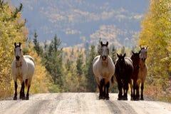Range horses along British Columbia road Stock Images