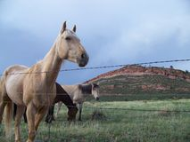Range horses of Colorado. Beautiful range horses against the beauty of the Colorado landscape. Horses are put out to pasture on acres and acres of land to roam Royalty Free Stock Photo