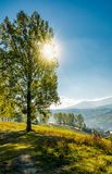 Range of poplar trees by the road on hillside. Beautiful morning in mountainous countryside Royalty Free Stock Photography