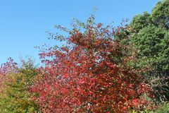 Summer and Autumn Treetops, Clear Sky. A range of red and green treetop colours, a good illustration of the transition between seasons stock photos