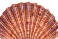 Range of seashell of  molluscs isolated on white background.  Stock Image