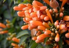 Range trumpet orange flower Stock Images