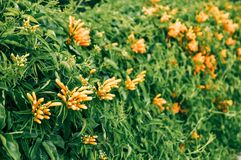 Range trumpet , Pyrostegia Venusta orange flower stock images