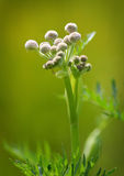 Ranger Buttons Flower. Ranger Buttons growing in a blurred out field royalty free illustration
