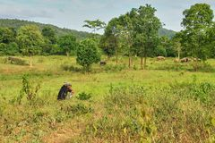 A ranger is observing the cluster of wild Asian elephant. Stock Photos