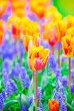Rangées de belles tulipes oranges et rouges Photographie stock libre de droits