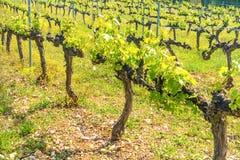Rangées des raisins dans un vignoble Photos libres de droits