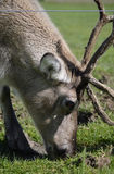 Rangifer Tarandus Reindeer Portrait Stock Images