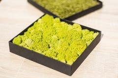 Rangifera de Cladonia de lichen de cerfs communs dans un pot noir carré sur la table photographie stock libre de droits