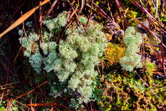 Rangiferina Cladonia λειχήνων ταράνδων Στοκ φωτογραφία με δικαίωμα ελεύθερης χρήσης