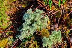 Rangiferina Cladonia λειχήνων ταράνδων Στοκ εικόνα με δικαίωμα ελεύθερης χρήσης