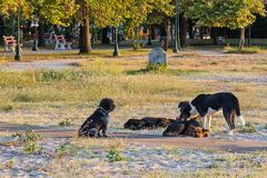 Ranging dog. Free-ranging dogs include street dogs, village dogs, stray dogs and feral dogs on the beach. royalty free stock images