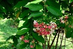 Rangoon creeper. The Rangoon creeper with elliptical leaves and fragrant , tubular flowers Royalty Free Stock Photos