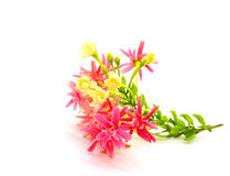 Rangoon Creeper flower Stock Image