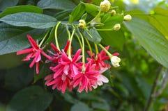 Rangoon creeper flower Royalty Free Stock Photos