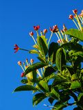 Rangoon creeper flowers. Red and white Rangoon Creeper flowers are bright against a blue sky royalty free stock photography
