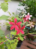 Rangoon creeper flowers. The blooming of rangoon creeper flowers in garden with red and pink color Stock Photo