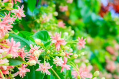 Rangoon creeper flowers Stock Image