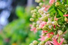 Rangoon creeper flowers Royalty Free Stock Photography