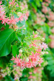 Rangoon creeper flowers Stock Images