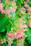 Rangoon creeper flowers Stock Images