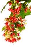 Rangoon creeper flowers Stock Photography