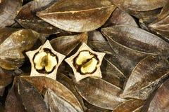 Rangoon creeper fruits Stock Photo