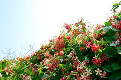 Rangoon creeper. The pink and red flowers of Rangoon creeper grown as an ornamental plant Royalty Free Stock Photography