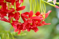 Rangoon creeper. Vine with red flowers and fragrant, which is found in Asia Royalty Free Stock Photography