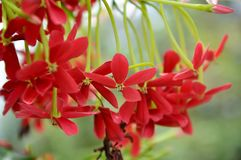Rangoon creeper. Vine with red flowers and fragrant, which is found in Asia Royalty Free Stock Photo