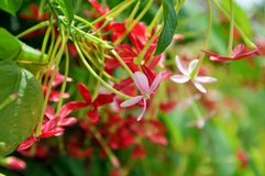Rangoon creeper. Vine with red flowers and fragrant, which is found in Asia Stock Photography
